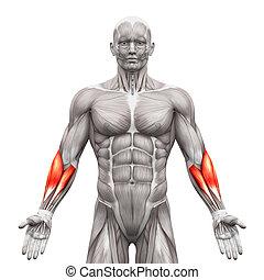 músculos, antebrazo, -, aislado, ilustración, anatomía, ...