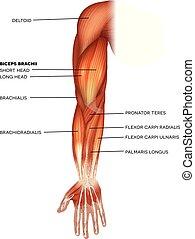 músculos, braço, mão