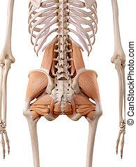 músculos, cadera