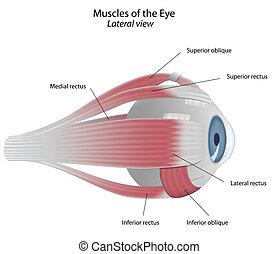 músculos, de, a, olho, eps8