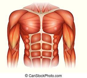 músculos, de, a, torso