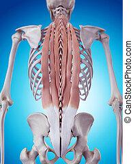 músculos, espalda, profundo