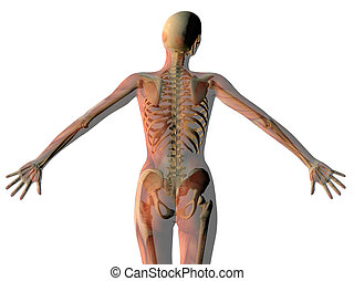 músculos, extendido, esqueleto, actuación, aislado, mujer,...