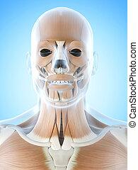 músculos, facial