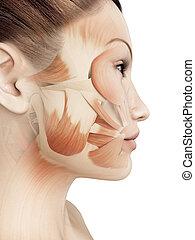 músculos, femininas, facial