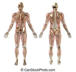 músculos, macho, esqueleto, semitransparentes