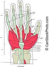músculos, mano