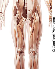 músculos, pierna