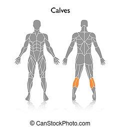 músculos, silueta, utilizado, vector, entrenamiento, hombre