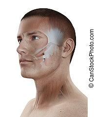 músculos, -, sistema, macho, facial, músculo
