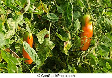 mûre, cru, rouge vert, oblong, tomates, serre