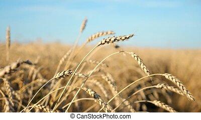 mûre, gros plan, blé, oreilles