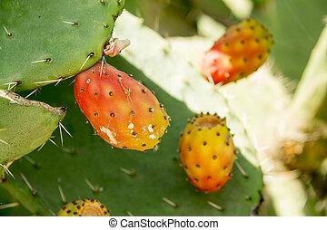 mûre, poire, aka, jaune, cactus, épineux, fruit rouge, opuntia