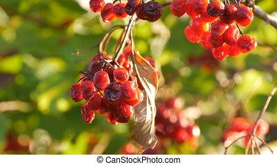 mûre, viburnum, arbre, haut, mûr, fin, rouges, vue
