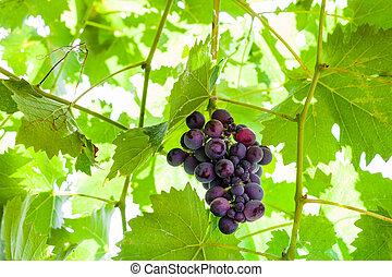 mûre, vigne, ensoleillé, sombre, raisins, jour, rouges, tas