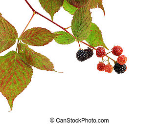 mûres, branche, automne