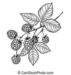 mûres, branche, dessin