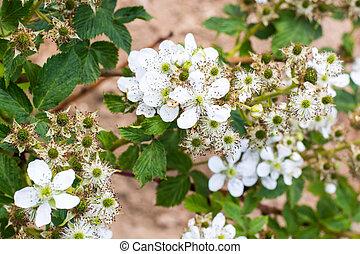 mûres, branche, fleurir