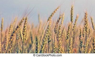 mûrir, oreilles, blé, vent, vague