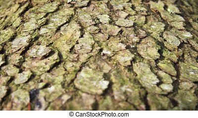 mûrir, sapin, écorce, arbre, closeup