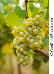 mûrir, vigne, raisins