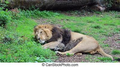 męski lew, cyganiąc na dół