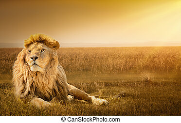 męski lew, cyganiąc na trawie