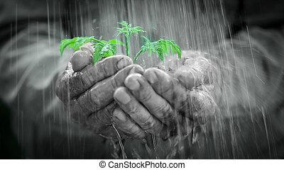 młoda roślina, w deszczu