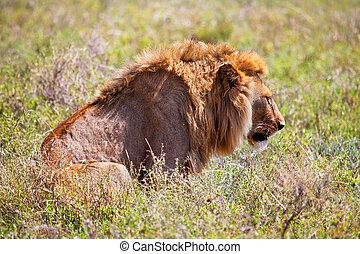 młody dorosły, męski lew, na, savanna., safari, w, serengeti, tanzania, afryka