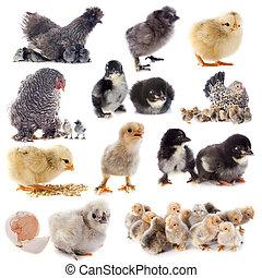 młody, kurczątka, i, kurczak