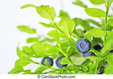 műveletlen, huckleberry