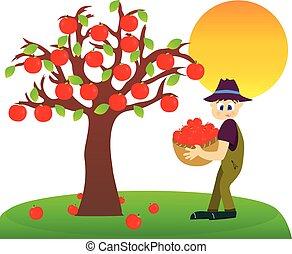 maçã, harvest.