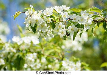 maçã, scenery:, primavera, florescer, filial árvore, besouro, pequeno, jardim