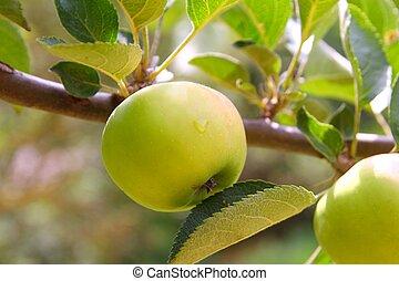 maçã, verde, árvore fruta, ramo