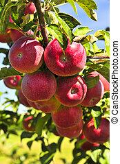 maçãs, ligado, árvore