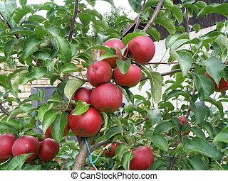 maçãs, ligado, macieira