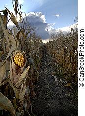 maíz, campo de maíz
