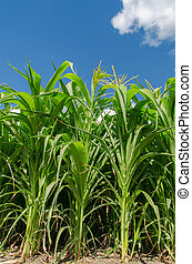 maíz, campo verde