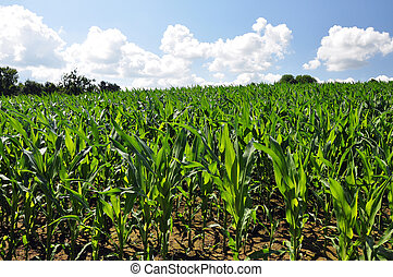 maíz, cielo, joven, nubes, campo