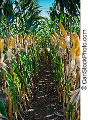 maíz, cosecha