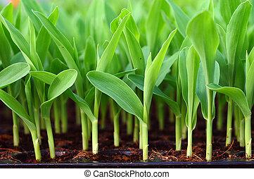 maíz, maíz, maíz dulce, joven, verde