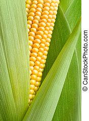 maíz, mazorca, detalle