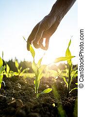 maíz, planta, joven, alcanzar