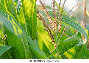 maíz, planta, y, flor