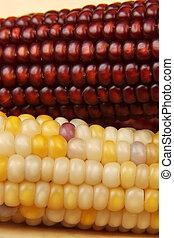 maíz, secado