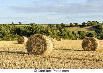 maíz, sheaves, y, montuoso, campo, cornwall
