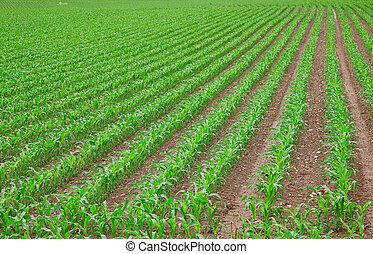 maíz, verde, joven, planta de semillero