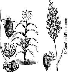 maïs, engraving., rijst, ouderwetse