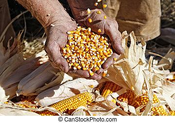 maïs, fermier, mains