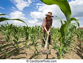 maïs, houe, champ, désherber